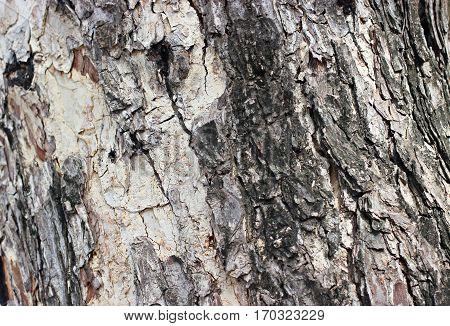 Bark is big tree is elderly .
