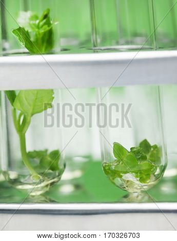 Tissue culture concept with plants in test tubes
