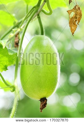 Wax gourd or Chalkumra of Indian subcontinent