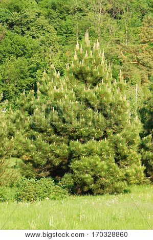 Beautiful evergreen pine tree in summer forest