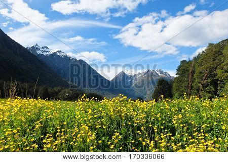 Wild Flowers, Meadows and Snowy Peaks.  Fjordland National Park, New Zealand