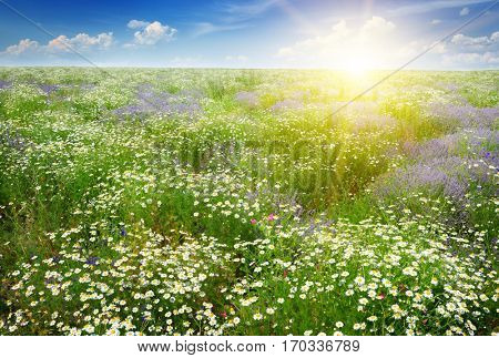 Dawn over the scenic summer field with chamomile flowers and lavender.