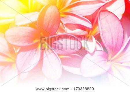 Close up branch of tropical flowers frangipani (plumeria)