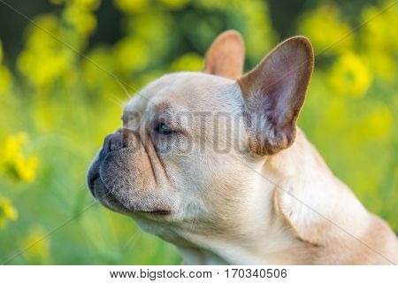 Young French Bulldog Profile with Field Mustard Background