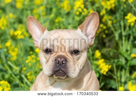 Young French Bulldog Headshot with Field Mustard Background