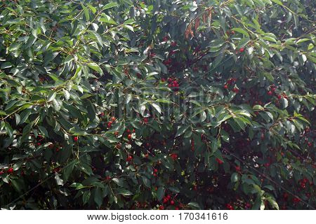 Fruits in a Montmorency sour cherry tree (Prunus cerasus) in Joliet, Illinois during June.