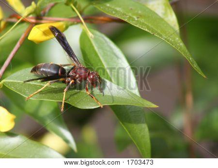 Hornet On Jasmine Leaf