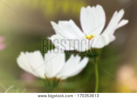 sweet dreamy and de-focused close up white Cosmos flower in tropical garden and sun flare