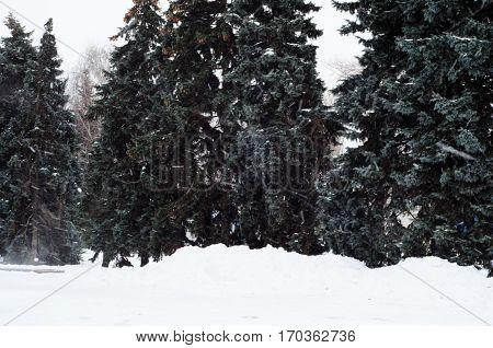 Fir Trees In A Park