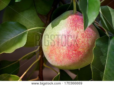 In the garden on the branches of a tree hanging large ripe pears. Presents closeup.