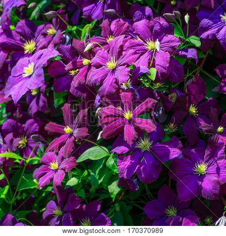 Jackman clematis, a common flowering vine in the summer garden.