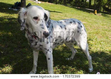 Uncontrollable guest of your picnic. Dalmatian puppy. We are friends