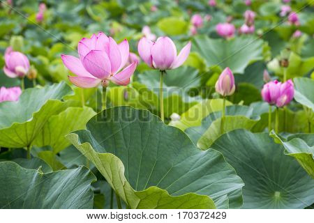 Pink lotus flowers and large green leaves