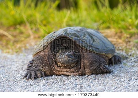 Close encounter with an common snapping turtle on a sunny day