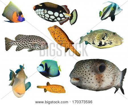 Tropical fish isolated. Reef fish on white background. Angelfish, Triggerfish, Butterflyfish, Bannerfish, Sweetlips fish, Pufferfish puffer. Collection of tropical fish