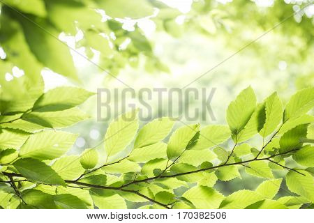 Fresh green carpinus tschonoskii leaves with branch growing in lower sideways