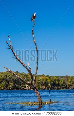 African fish eagle on a dry tree in Zambezi River. The concept of extreme and exotic tourism. Chobe National Park , Botswana