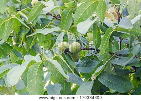 Walnut Tree Close Up With Green Fruits, Juglans Regia Tree, The Persian Walnut, English Walnut, Comm