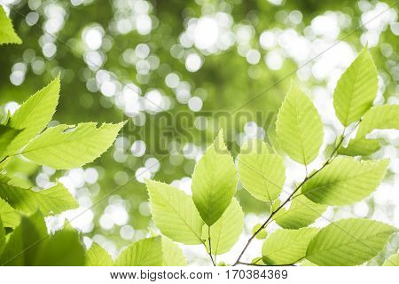 Fresh green carpinus tschonoskii leaves in front of unfocused lights