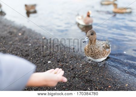 Feeding duck at lakeside