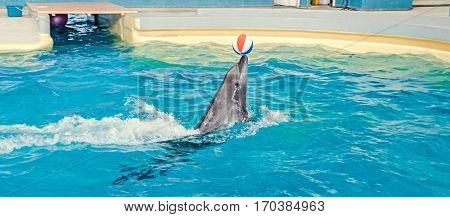 Dolphin performing in the pool water with colored beach ball.