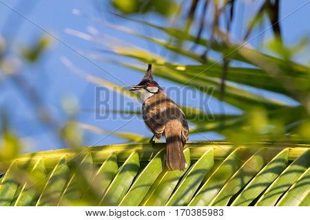 Red-whiskered Bulbul, passerine bird with black crest, red face patch perching on coconut palm leaves against blue sky in Thailand, Asia (Pycnonotus jocosus)