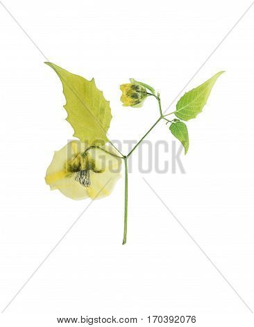 Pressed and dried flower physalis on stalk with carved green leaves. Isolated on white background. For use in scrapbooking floristry (oshibana) or herbarium.