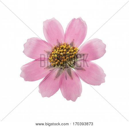 Pressed and dried flower cosmos isolated on white background. For use in scrapbooking floristry (oshibana) or herbarium.