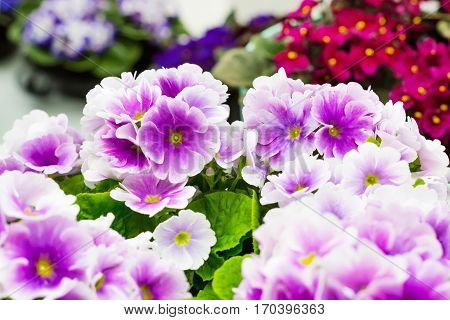 Colorful holiday or birthday background with beautiful closeup Viola or Pansy flowers