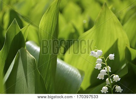 Blossoming lily of the valley in the forest. Lily-of-the-valley.Convallaria majalis.Spring background.Floral background.Selective focus.