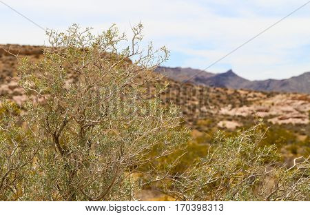 Vegetation in the Valley of Fire State Park, Nevada, USA