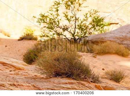 Vegetation in the Valley of Fire State Park in Nevada, USA