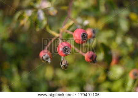 Monza (Brianza Lombardy Italy): garden of the historic Royal Palace at fall. Red berries
