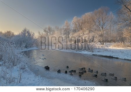 Ducks on winter Yauza river in Moscow