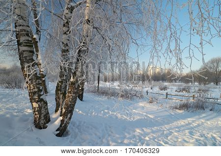 Birch trees in the park near Yauza river in Moscow. Branches of the trees are covered by hoarfrost.