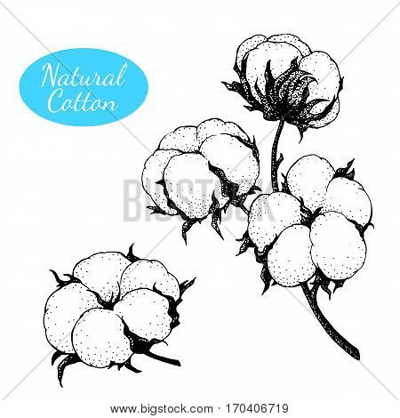 Black and white vector cotton flowers. Engraving technique. Can be used as decor ellement for a rustic wedding, greeting cards, textile or prints.