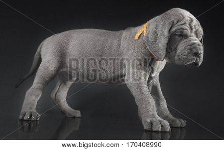 Grey colored young Great Dane puppy on dark background