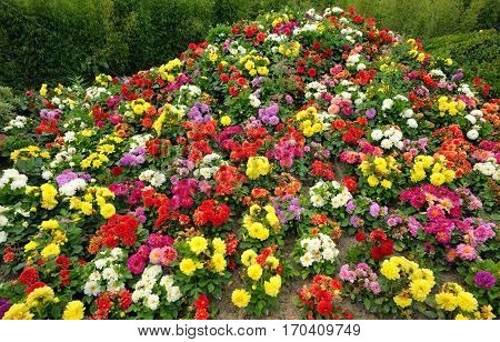 Bright multi-colored flowers growing in the flowerbed in the park