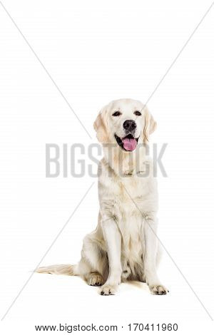 Labrador Retriever on white background. Labrador sitting. The dog is looking at the camera