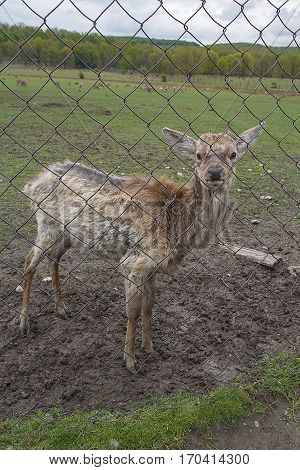 Young deer without horns behind the fence on a farm. Animals