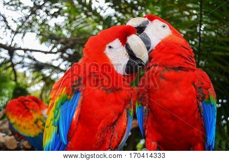 Two bright macaw feathers clean beak to each other
