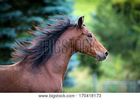 Bay horse portrait on green background. Trakehner horse with long mane running outdoor.