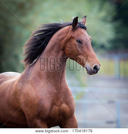 Bay horse portrait closeup. Trakehner horse runs in field. Square photo.