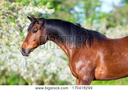 Bay horse portrait. Horse head closeup in spring.