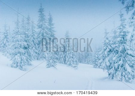Magical winter snow covered tree. Dramatic wintry scene. Carpathian. Ukraine. Europe