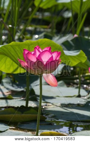 Lonely lotus flower. Pink miracle. Volga Delta. Russia.