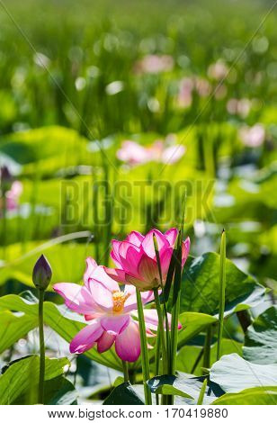 Lotus flowers and buds. Pink miracle. Volga Delta. Russia.