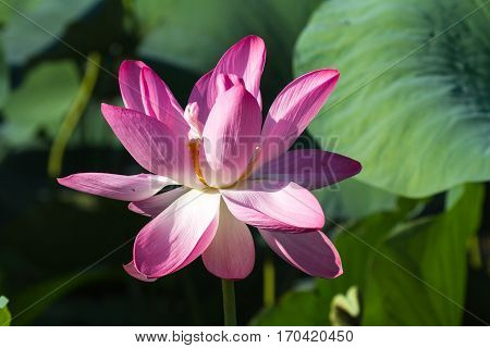 Large lotus flower. Pink miracle. Volga Delta. Russia.