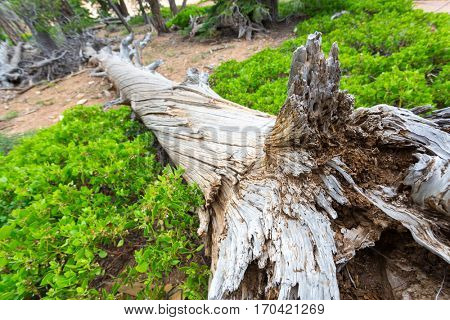 Dry tree in the forest