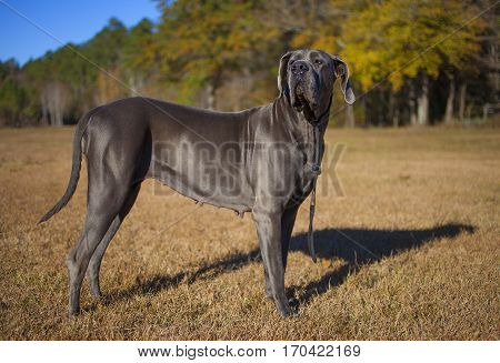 Female Great Dane purebred standing on a grassy field in late fall